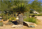 Faxon or Giant Dagger Yucca